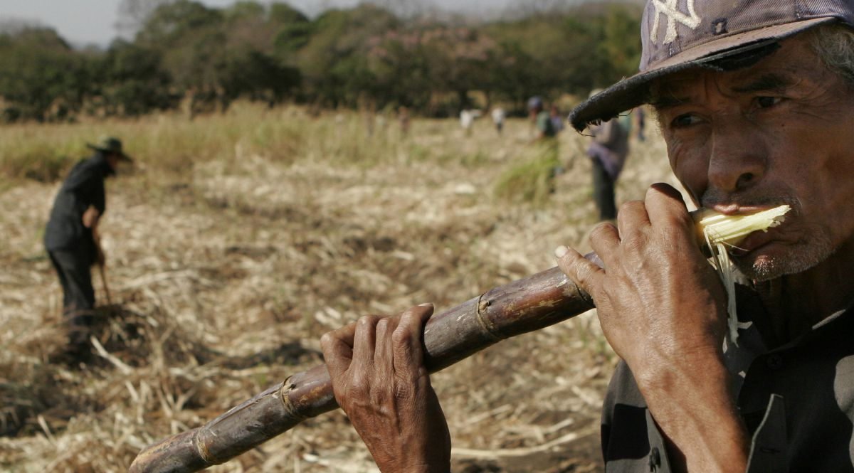 A laborer sucks the juice from sugar cane on a Costa Rican plantation
