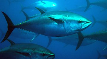 Between 1998 and 2007 more than one in three bluefin was caught illegally, creating an off-the-books trade conservatively valued at $4 billion