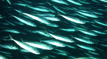 Jack mackerel stocks have declined from 30 million metric tons to less than 3 million in just two decades