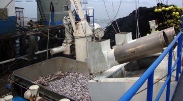 Peru's anchoveta is the world's largest fishery