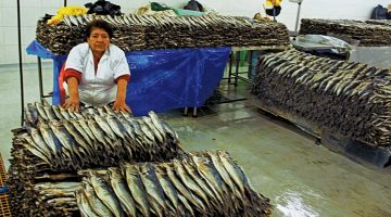 Jack mackerel, fresh off the boat, is prepared for markets in Peru