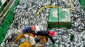 After years of intensive fishing, jack mackerel stocks in the southern Pacific have declined dramatically